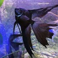 ikan manfish black angel slayer