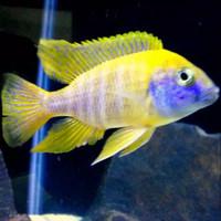 Ikan Aulonocara Baenchi African Cichlid