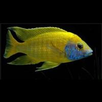Ikan Cichlid Aulonocara Baenshi uk 9cm Up Sudah Warna