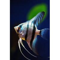 Ikan Manfish Blue Pinoy Ikan Layang-Layang Size XL