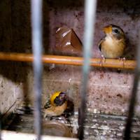 Jual Burung Manyar Di Dki Jakarta Harga Terbaru 2021