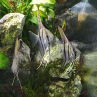 ikan manfish altum peruvian super