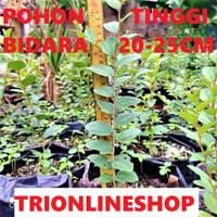 Bibit Pohon Bidara Arab Tanaman Bidara Tinggi 20 - 30Cm Kwalitas Super