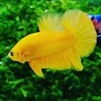 Ikan Cupang Plakat Yellow Banana