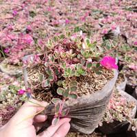 tanaman krokot varigata hias, hijau, daun merah, sejenis sutra bombay