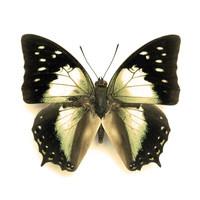 Kupu Kupu Kering / serangga awetan - Charaxes nitebis nitebis