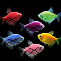 ikan hias glofish tetra import aquascape