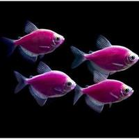 ikan hias glofish tetra galactic purple aquascape
