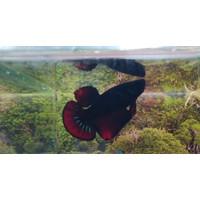 Ikan Cupang Avatar Gordon murah