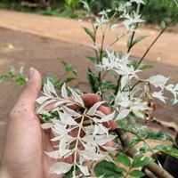 bahan bonsai anting putri salju no2