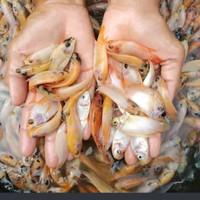 bibit ikan nila merah Nirwana