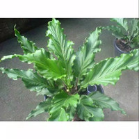 tanaman hias antorium gelombang cinta// bibit antorium
