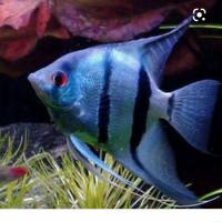 manfish blue pinoy/ikan hias/aquarium/aquascape