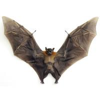 Hewan Kering / Awetan - Cynopterus brachyotis (wingspread 28-32cm)