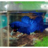 Hiasan Aquarium Ikan Cupang Royal Blue
