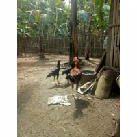 Ayam Bangkok (clasik) jengger muda turunan pakhoy Ayam Bangkok