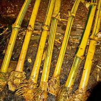 bibit tanaman hias bambu kuning penangkal setan belek