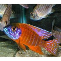 Ikan Cichlid Aulonocara Red Rubin Pure uk 6-7cm