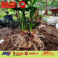 Bibit tanaman jahe merah unggul (cabutan) - harga murah unistore