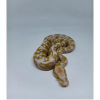 ballphyton albino murah / ball phyton abino / ballpython albino