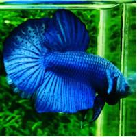 Ikan Cupang Hias Giant Royal Blue
