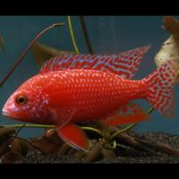 Ikan Cichlid Aulonocara - Dragon Blood (IKAN HIAS AIR TAWAR)