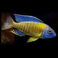 Ikan Cichlid Aulonocara - Blue Neon (IKAN HIAS AIR TAWAR)
