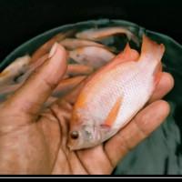 bibit ikan nila merah - ukuran 3 jarian