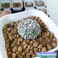 Kaktus astrophytum super kabuto