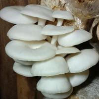 Baglog jamur tiram putih ukuran sedang
