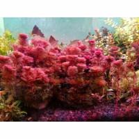 Aksesoris aquarium Cabomba Red Furcata Menor tanaman aquascape