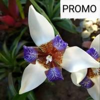 Bunga Neomarica Gracilis | tanaman hias bunga iris biru putih / airis