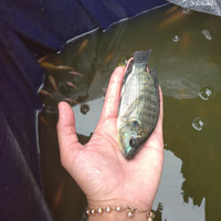 Bibit ikan nila hitam 2-3 jari