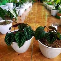 tanaman hias sirih keraton segar
