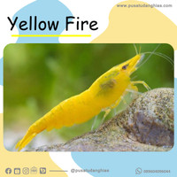 Udang Hias - Yellow Fire - Fatih Store - aquascape