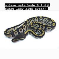 ball python mojave/ ballpython mojave bumbu lucy (blue eyed leucistic)