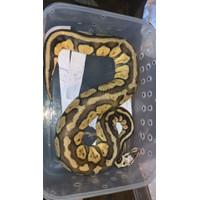 indukan ball python female super pastel / ballpython super pastel