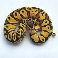 pastel yellow belly ball python jantan ballpython jinak ular murah