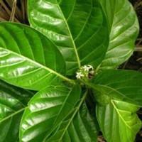 daun mengkudu muda obat herbal