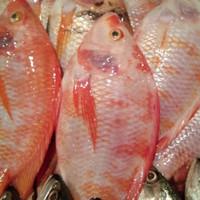 ikan nila merah segar