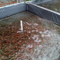 bibit ikan nila merah bangkok asli