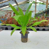 Echinodorus amazonicus ( amazon sword ) - tanaman aquascape