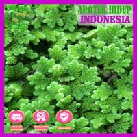Tanaman Air - Azolla Microphylla untuk pupuk organik