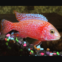 Ikan Cichlid Aulonocara Dragonblood Mata Hitam uk 6cm