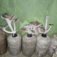 bibit jamur tiram coklat