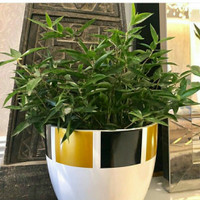 Bibit Bambu Jepang Mikro / Bambu Hias Mini / Tanaman Hias Unik