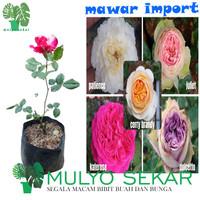 tanaman bunga mawar impor hidup - kuncup