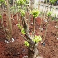 Tanaman hias bonsai anting putri-tanaman bonsai