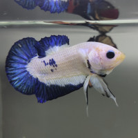 ikan cupang blue marble male