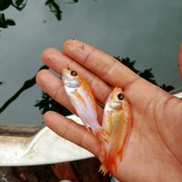bibit ikan nila bangkok merah
